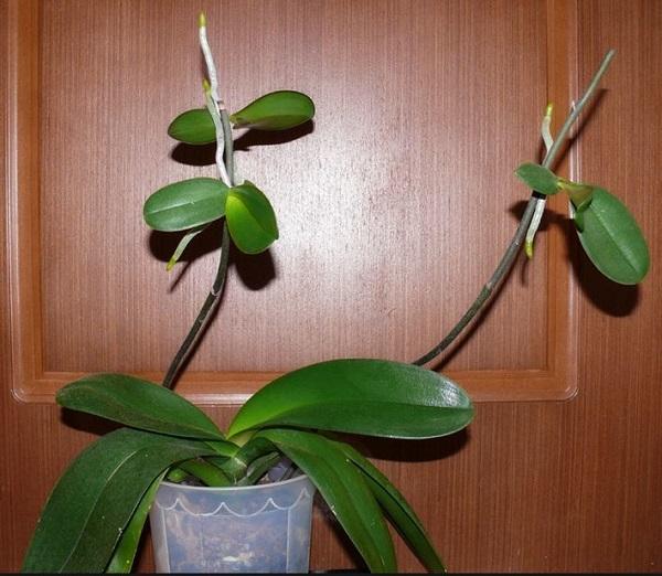 Детки с небольшими корешками на цветоносах комнатной орхидеи