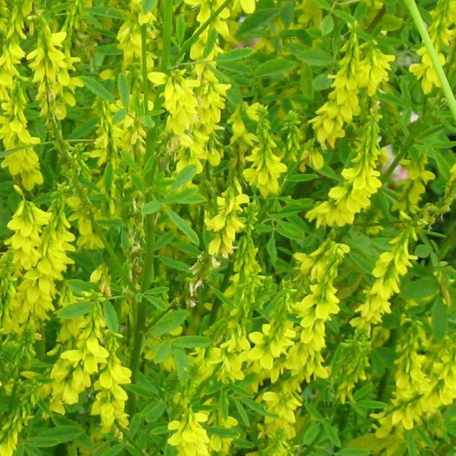 Желтые цветки на доннике, выращиваемом в качестве летнего сидерата