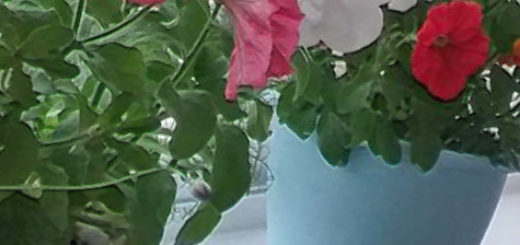 Два цветка петунии на балконе в горшке