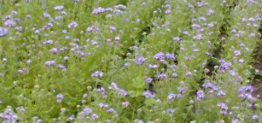 Цветущая фацелия медонос на дачном участке фиолетовые цветы