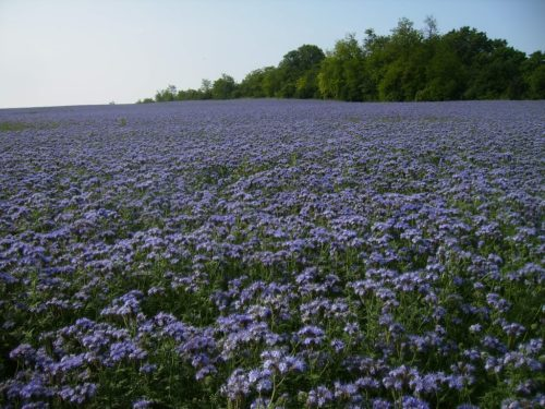 Большое поле с цветущей фацелией выращиваемой для продажи семенного материала