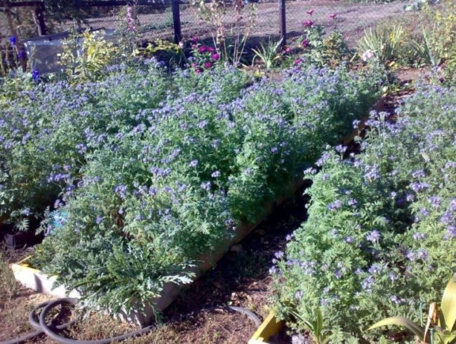 Выращивание на огородных грядках фацелии в качестве сидерата