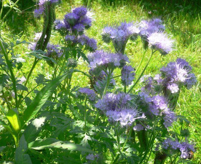 Цветение пижмолистной фацелии на садовом участке в середине июля