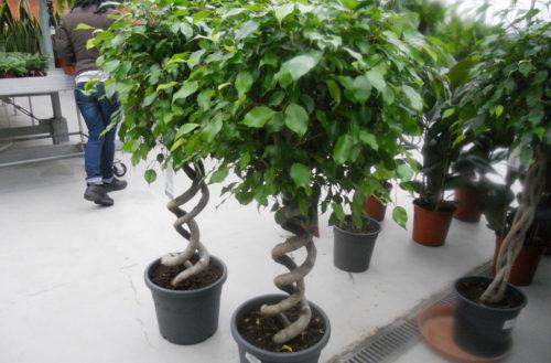 Спиралевидные стебли фикусов каучуконосных в цветочных горшках