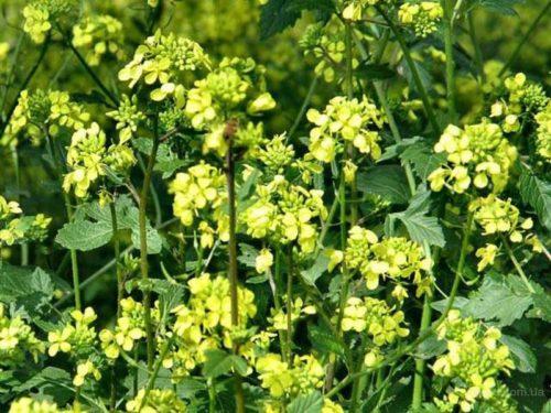 Желтые цветки на белой горчице перед скосом культуры как сидерата