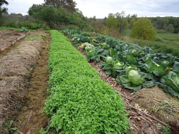 Совместное выращивание овощных культур и сидератов на соседних грядках