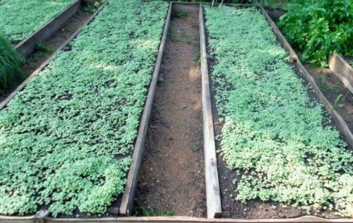 Высокие огородные грядки с молодыми всходами горчицы