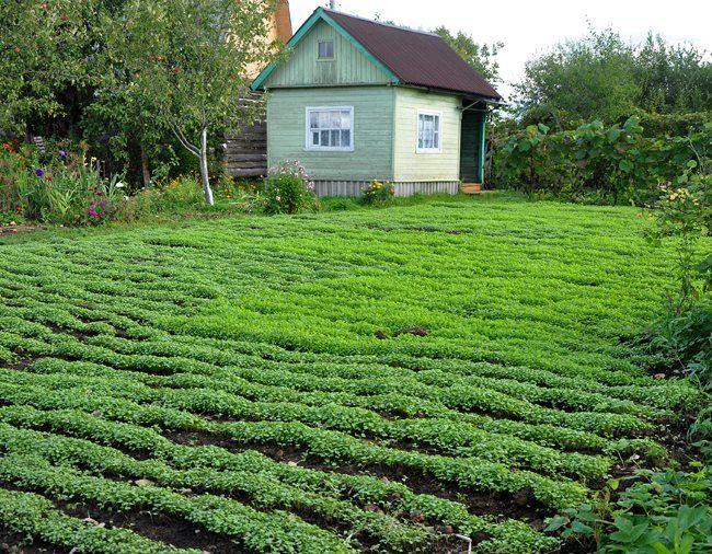 Летние посевы горчицы белой на картофельном участке