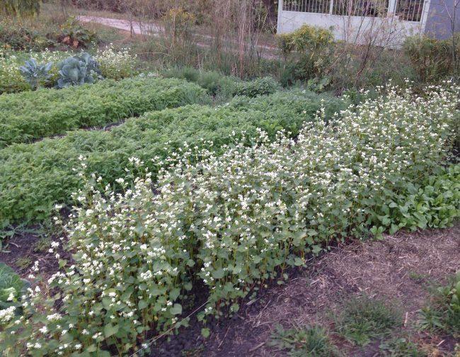 Огородная грядка с зацветающей гречихой в середине лета