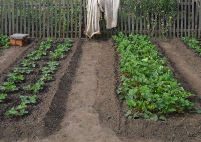 Грядки с клубникой на садовом участке с деревянным забором