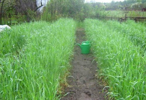 Выращивание овса на огороде для улучшения структуры почвы