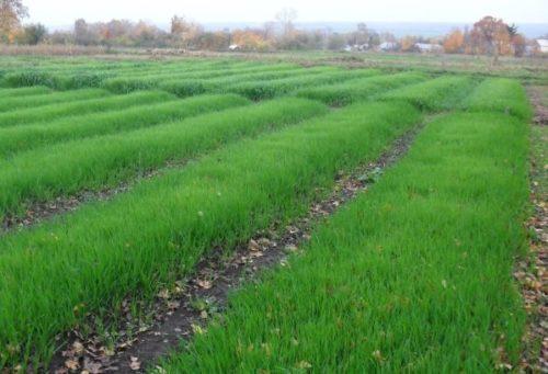 Посевы злаковых культур в качестве сидератов для улучшения почвы