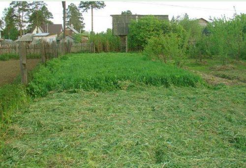Скашивание ржи в огороде перед осенней перекопкой земли