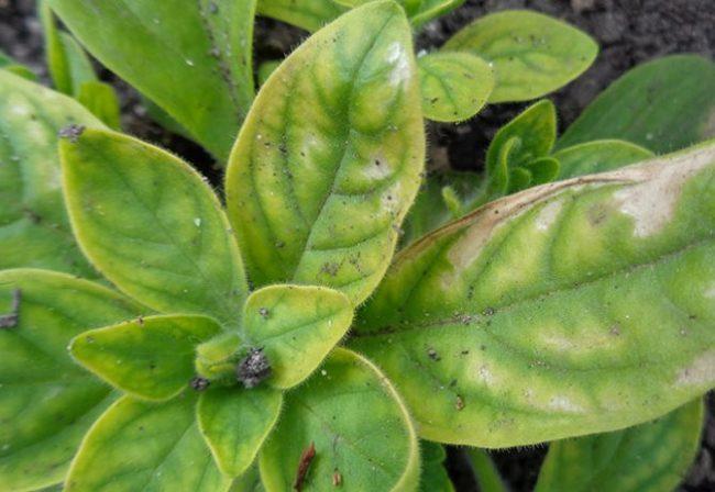 Листья петунии с первичными симптомами поражения растения хлорозом