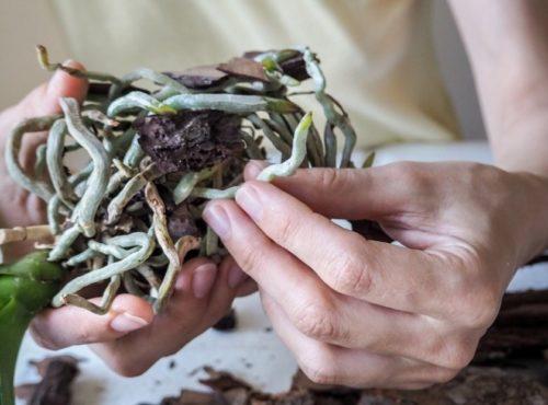 Окраска здоровых корней комнатной орхидеи при правильном уходе