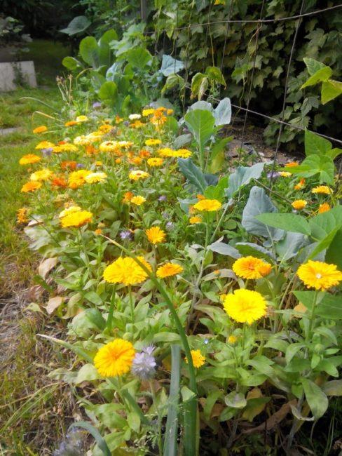 Летнее цветение календулы на грядке частного участка