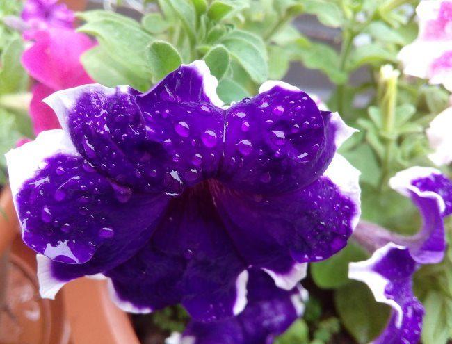 Капли дождевой воды на сине-сиреневом цветке петунии кустового сорта
