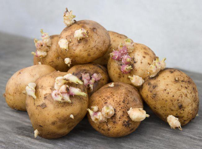 Горка отборной семенной картошки с ростками белого цвета