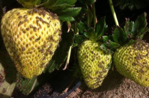 Серые клещи небольшого размера на светло-зеленых плодах клубники