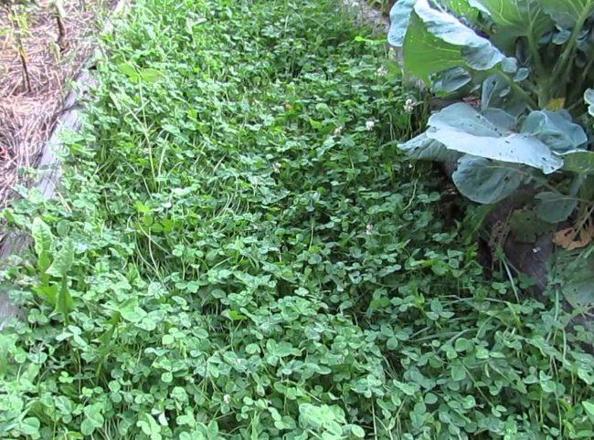 Посадки клевера как сидерата между огородными грядками