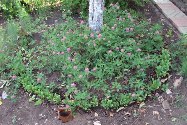 Выращивание красного клевера как сидерата в приствольном круге плодового дерева