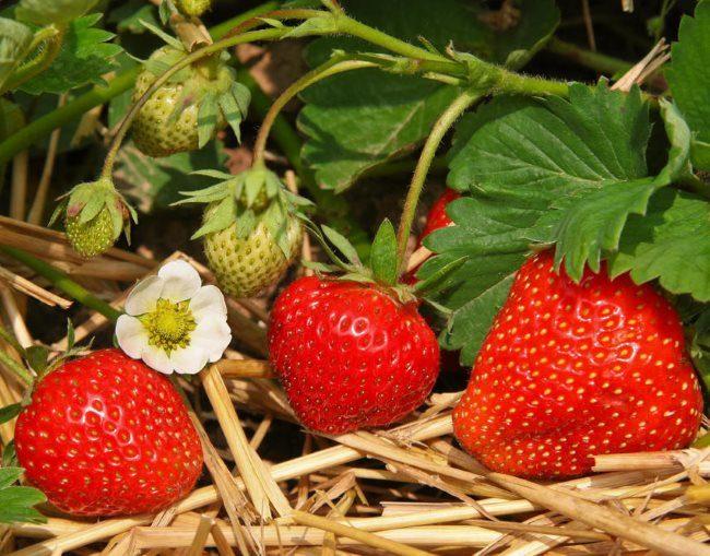 Красные ягоды клубники на мульчирующей подстилке из соломы