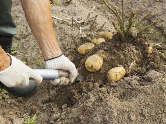 Пробная копка кустика картошки перед сбором урожая в средней полосе