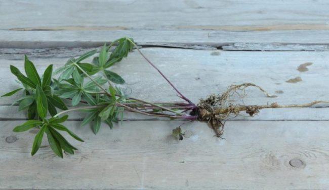 Длинный корень на молодом люпине с зелеными листочками