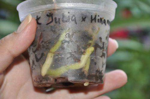 Подросшие корни сеянца орхидеи в прозрачном стаканчике из пластика