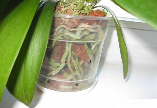Светло-зеленые корни комнатной орхидеи в прозрачной емкости с дырочками