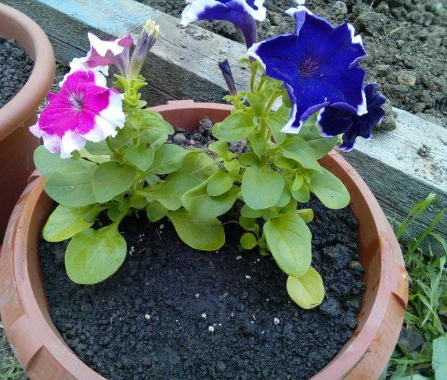 Небольшие кустики петунии двух разных цветов в коричневом горшке