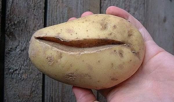 Продольная трещина на молодой картошке при вирусном заболевании