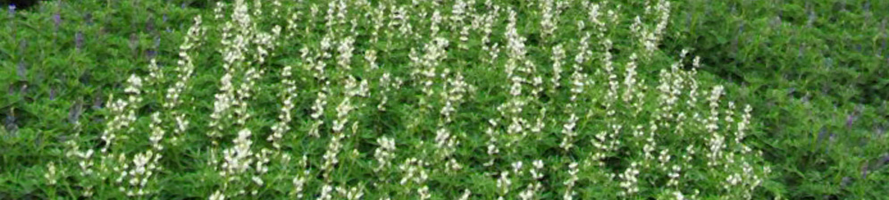 Цветение на поле люпин сидерат с белыми цветками