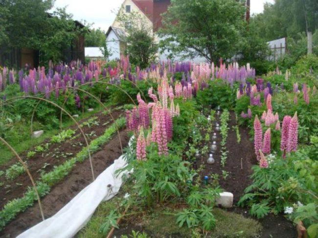 Цветущие стрелки люпина между огородных грядок на дачном участке