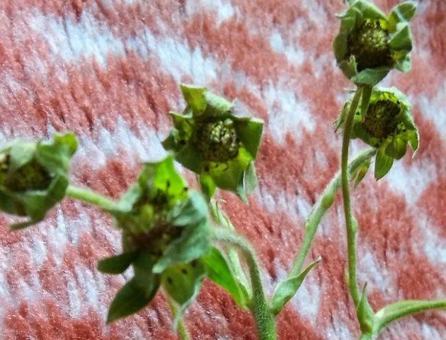 Мелкие зеленые ягоды при подмерзание клубники в период весеннего цветения