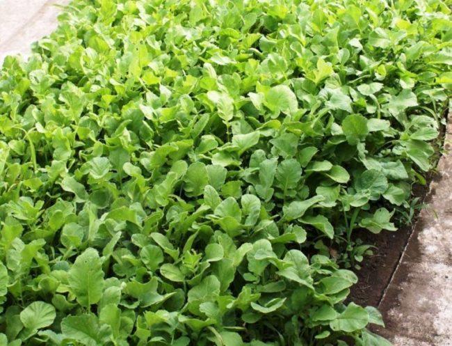 Зеленая ботва масличной редьки, выращиваемой как сидерат