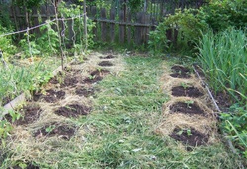 Использование сидератов в качестве мульчирующего материала на огороде
