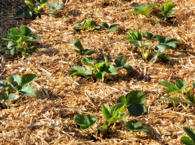 Пшеничная солома на поверхности грядки с садовой клубникой
