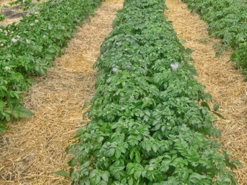 Прошлогодняя солома в качеставе мульчирующего материала на картофельном поле