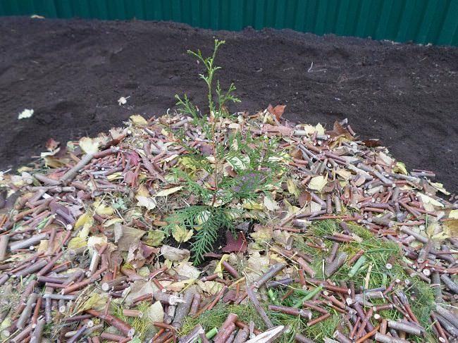 Мульчирование саженца западной туи сухими листьями и обрезками веток