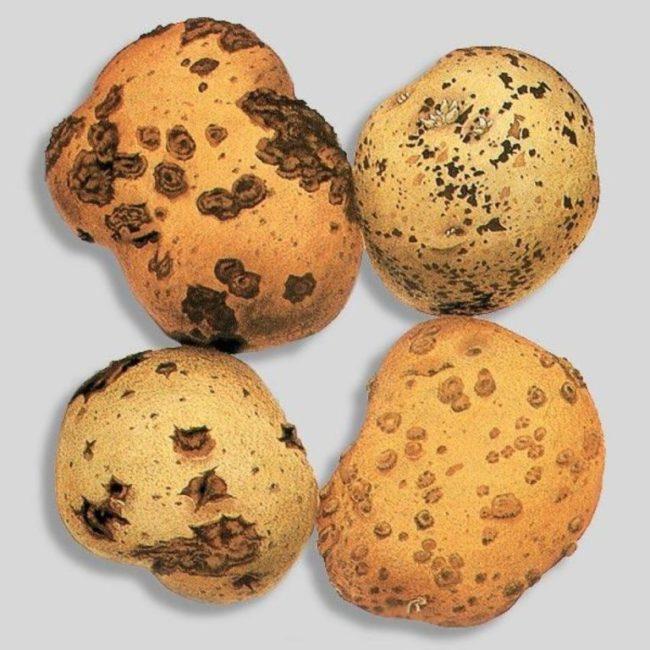 Коричневые пятна и мелкие трещины на кожице картошки при заражении нематодой