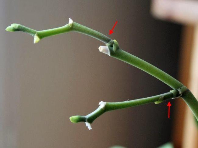 Новые цветоносы из спящих почек после обрезки орхидеи на стимуляцию вегетативного размножения