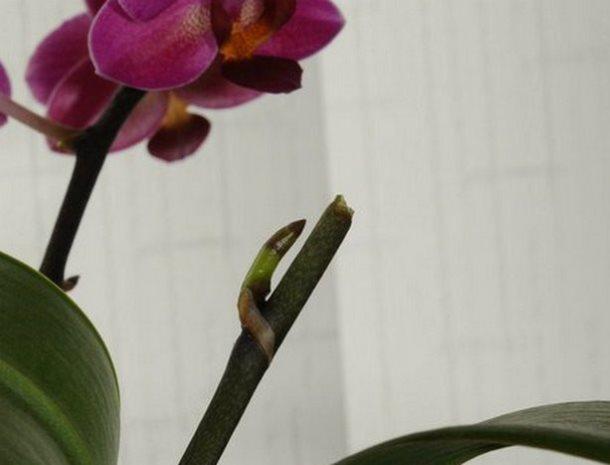 Место обрезки цветоноса орхидеи с новым боковым побегом
