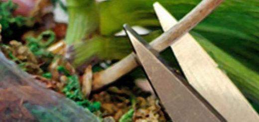 Обрезка ствола орхидеи который отцвёл и засох