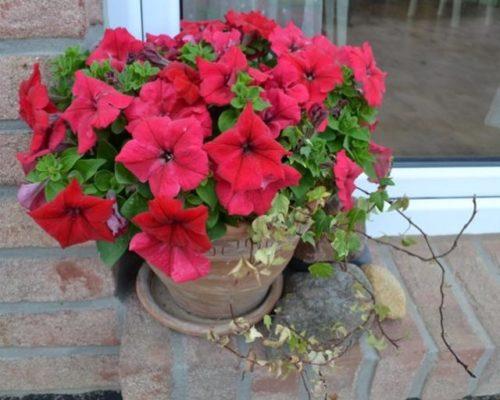 Красные цветки на кусту петунии в керамическом горшке с толстыми стенками