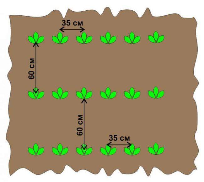 Расстояние между кустами и рядами картошки при посадке в огороде
