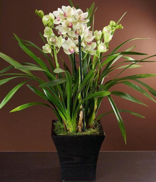 Цветение комнатной орхидеи симподиального типа с развитыми боковыми побегами