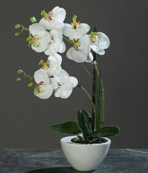 Обильное цветение комнатной орхидеи монопоидального типа с единственной точкой роста