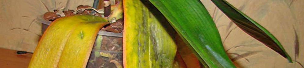 Отвалились и засохли листья у орхидеи в горшке