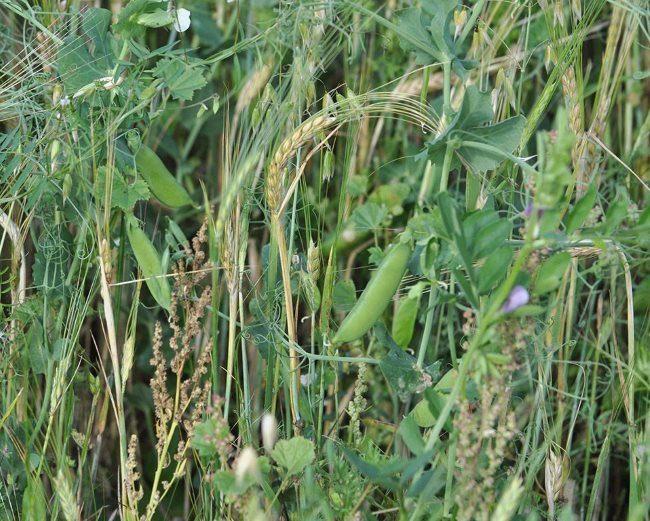 Совместная посадка овса и гороха как сидератов для улучшения структуры почвы